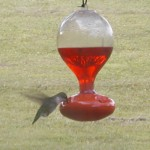 P6190007 edited 150x150 2011 Ruby Throated Hummingbird Migration Update