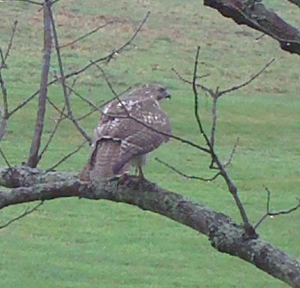 Hawk 300x288 Red Tailed Hawk Visits The Backyard