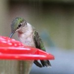 Ruby Throated Hummingbird 1 180 150x150 The 2012 Ruby Throated Hummingbird Migration Whispers Early Spring