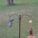 Dad Bluebird 4-17-15
