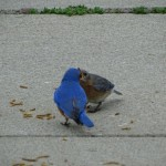 Mr. Bluebird Feeds Mrs. Bluebird