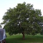 Bluebird Tree