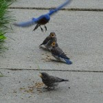 Male bluebird lands